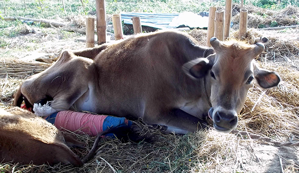 Only one cow had survived but has unable to stand for 20 days.