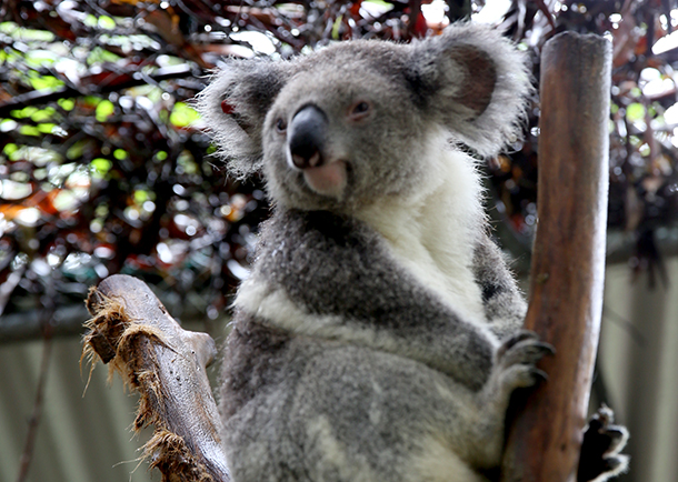 A koala in care at Friends of the Koala Photo: © Stephen Wark