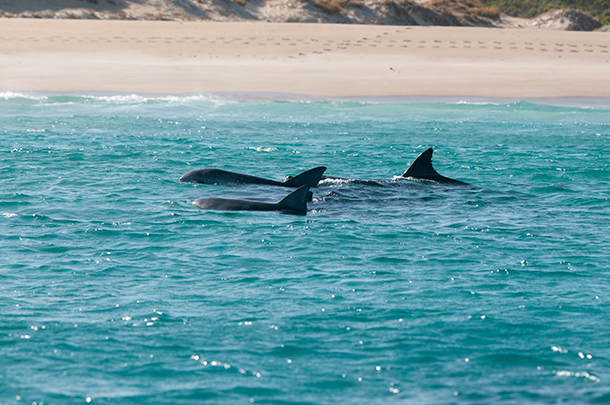 Bottlenose dolphins are one of the many species found in the waters off Kangaroo Island ©IFAW/Scott Sheehan