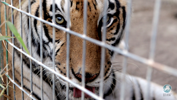 IFAW has participated in numbers of captive big cat rescues in the last few years. Titan, pictured here, was rescued from a closed sanctuary in San Antonio, Texas and moved to Pittsboro, North Carolina in 2010.
