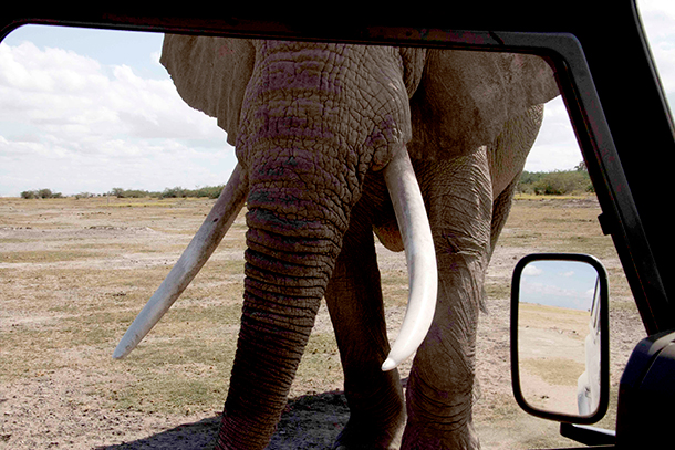 Males become very good at assessing size. Sometimes they seem keen to point that out to elephant researchers, too.