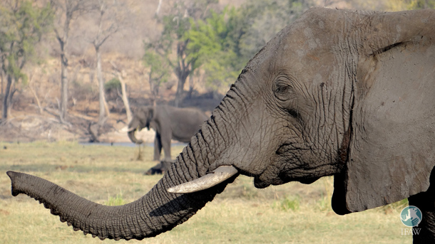 With an endorsement of the Action Plan form the EU, elephants stand to gain greater protections from wildlife trafficking.