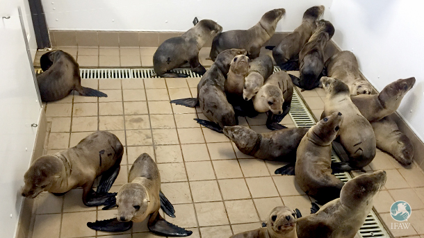 More than 1900 sea lions had stranded in California in the first half of 2016; many were rehabilitated at the Pacific Marine Mammal Center.