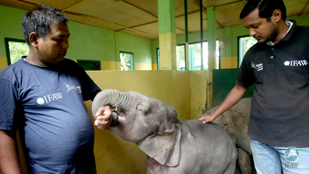 The rescued male elephant calf with wildlife rescue center animal keeper Hemkanta Nath and MVS veterinarian Dr. Jahan Ahmed at the large animal nursery.