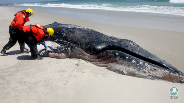 IFAW's Kristen Patchett and Sarah Sharp assess one of the stranded humpback whales discovered on Monomoy Island near Chatham, Massachusetts.