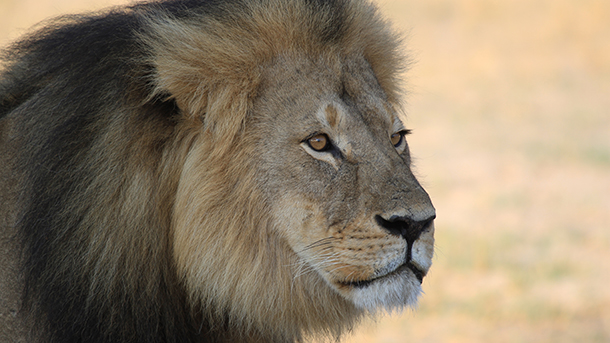 Today marks the one year anniversary of Cecil's shooting. PHOTO: © Paula French/shutterstock.com