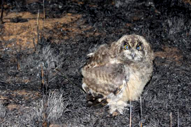 Scared eagle owl which survived the fire.