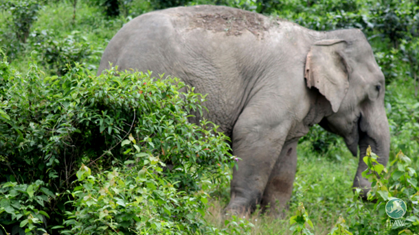 The female elephant was found in the Bokakhat forest beat of Kaziranga NP with injuries and inflammation on both forelimbs.