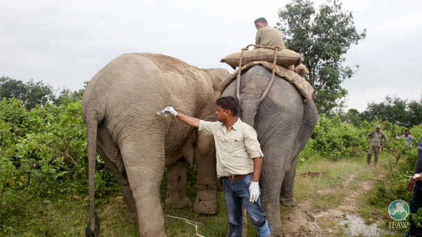 Dr Samshul Ali administers a sedative to the injured elephant, using the forest department's trained 'kumki' elephant as a shield.