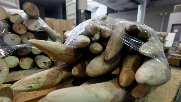 79 ivory tusks laid out at a Hong Kong government customs and excise facility. PHOTO: © Alex Hofford/IFAW
