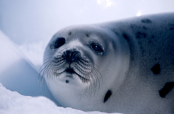 The EU seal ban has helped save more than 2 million seals from a cruel death by the commercial seal hunt.