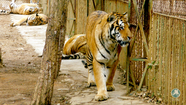 Under the disguise of captive breeding, tiger farms like the one in this file photo produce and sell tiger bone wine.