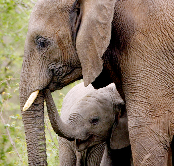 The elephant has long been acknowledged for its intelligence, strong family bonds, and complex levels of consciousness and social cohesion.
