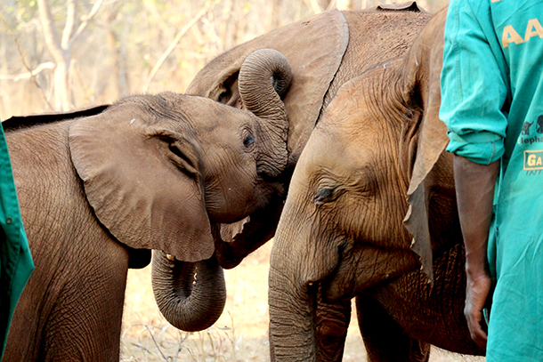 Orphans interact at the Lilayi Elephant Nursery.