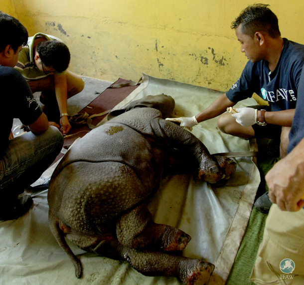 Veterinarians treat the rhino calf for his lung infection and apply topical ointment to his sores.