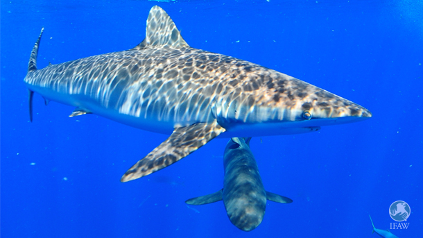 Blue sharks remain the most heavily traded of all species in the Hong Kong fin trade.