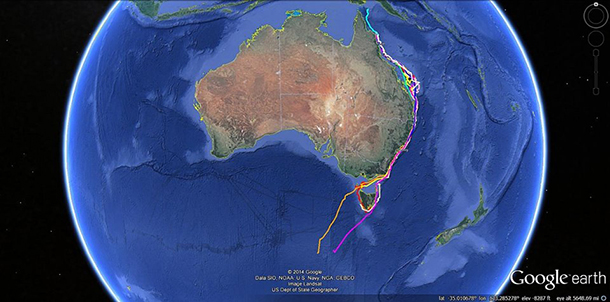 An image showing the tag tracks of some of the dwarf minke whales as they head down Australia's east coast. Image courtesy of the Minke Whale Project.