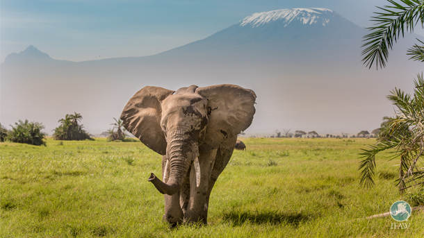 Elephants such as these, as well as tigers, mountain gorillas, cheetahs and more than six hundred other plants and animals would be denied crucial legal defenses they need to stay alive if the ESA is gutted by Congressional bills.