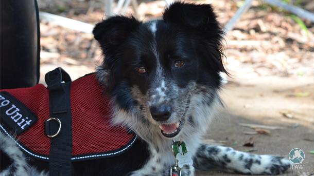 Maya, ein Border-Collie, wurde aus einem Tierheim gerettet und ist jetzt ausgebildet, um Koala-Kot zu erkennen.