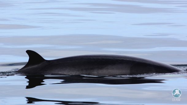 A minke whale surfacing in Faxaflói Bay. Photo: ©IFAW/MCR
