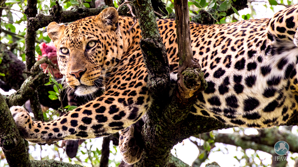 An Endangered listing would limit imports of leopard parts and products and better position the US to partner with range countries to promote the species' conservation.