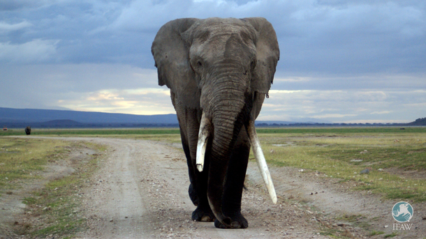An elephant roams Amboseli National Park.
