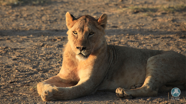 lion at amboseli national park