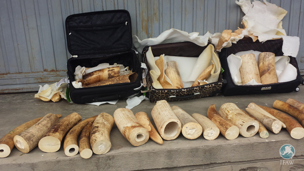 The seized ivory from a Rwandese traveller in Bole International Airport was packed in three ordinary travelling bags.