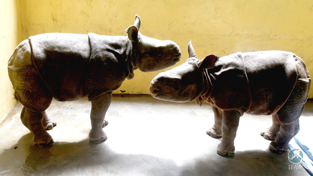 Two of the rescued rhino calves at the rescue center's Large Animal Nursery. Photo: © Subhamoy Bhattacharjee/ IFAW-WTI