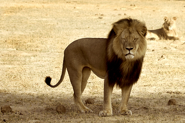 Cecil's demise has been the topic of hundreds of news stories globally.