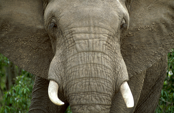 Scientists are gravely concerned about this crisis and its enormously dire impact on the African elephant population.