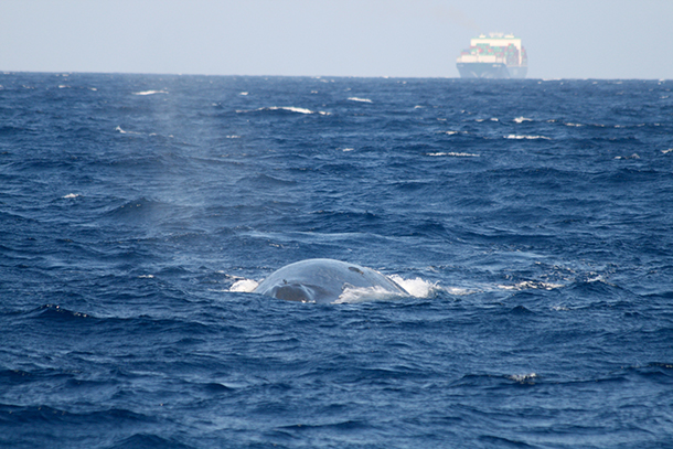 Since 2010 the number of reported ship strikes off Sri Lanka is higher than for any other large whale population globally that we are aware of.