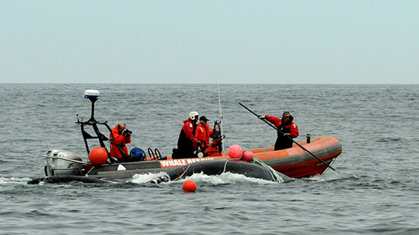 The Campobello Whale Rescue Team, after five hours of work cutting lines around a five-year-old right whale named FDR, eventually freed the animal. PHOTO: © New England Aquarium