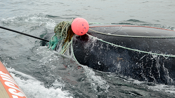 As we approached the whale, he didn't make much effort to swim away, as if he knew rescuers were there to help. PHOTO: © Jerry Conway