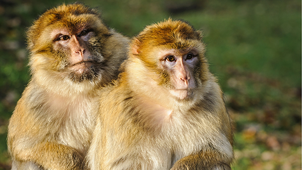 Barbary macaques, the only non-human primate living in Europe, was given the highest CITES protection today.