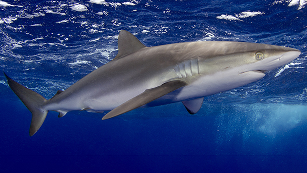 Silky shark declines are primarily due to overexploitation by fisheries supplying fin products for international trade.