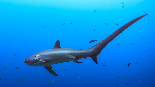 Thresher sharks are highly migratory pelagic sharks, with an almost worldwide global distribution in tropical and temperate oceanic and coastal seas.