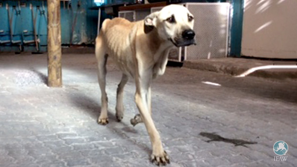 Goldie was one of two emaciated dogs that arrived at the Mdzananda Animal Clinic within days of one another. She was the more friendly and enthusiastic of the two.