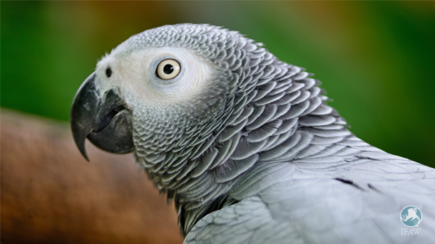 The trade of African grey parrots for pets, and the fragmentation of their habitat, has been especially detrimental for wild populations throughout their range across Africa. Photo: © Pond 5/Panu Ruangjan