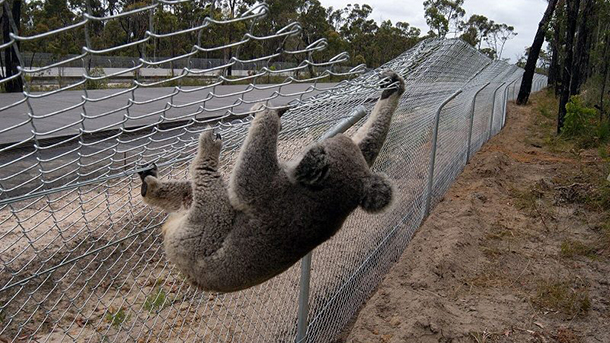 Sadly, no amount of fences, crossings and tree planting can save The Ballina koalas now that the new Australian Environment Minister has approved Section 10 of the Pacific Highway.
