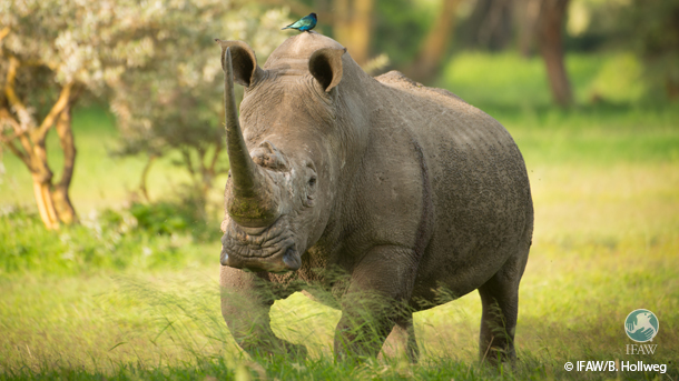 Swaziland's proposal would have altered the existing annotation on the Appendix II listing of its white rhino population.