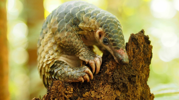 The IUCN pass a pangolin resolution that is a victory for all pangolins. PHOTO: ©1StopBrunei Wildlife