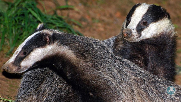 So far more than 3,943 badgers have been shot and killed as a result of the culls