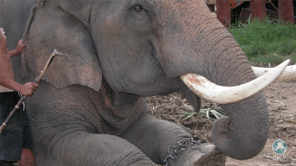 """Bullhooks have long been used to """"train"""" elephants by striking or stabbing them."""