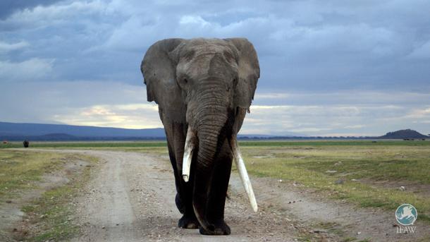 Abweichende Listung, d.h., unterschiedliche Schutzkategorien für Elefanten in verschiedenen Teilen Afrikas, bringt große Probleme mit sich.