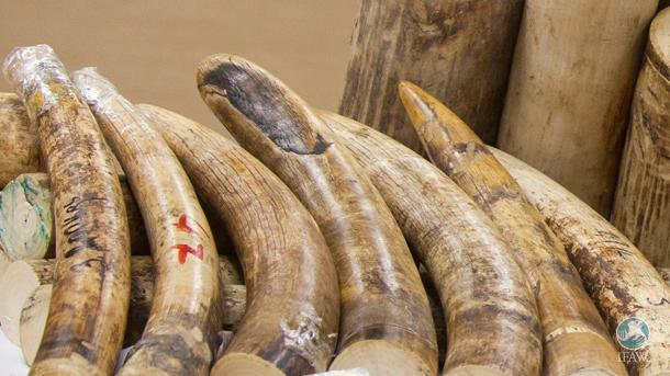 While confiscating a total of 1.2 metric tons of illegal ivory in Germany is great news on one hand, the reality that there is still such a magnitude of ivory in Germany is disconcerting.