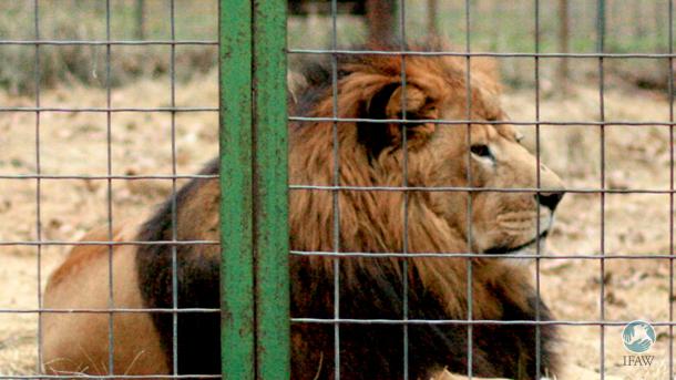 Seit mehr als 15 Jahren kämpft der IFAW für die Beendigung der kommerziellen Gatterjagd auf Löwen.