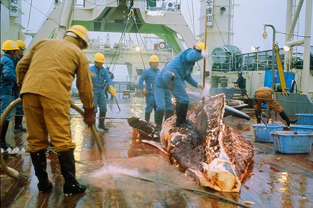 Seit 15 Jahre führt Japan Fleisch und andere Bestandteile von Seiwalen zum kommerziellen Verkauf nach Japan ein, was nach CITES streng verboten ist.