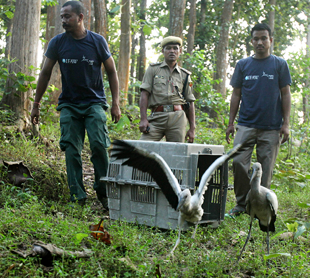 Two open-billed stork fledglings were released this week by the CWRC Mobile Veterinary Service team.