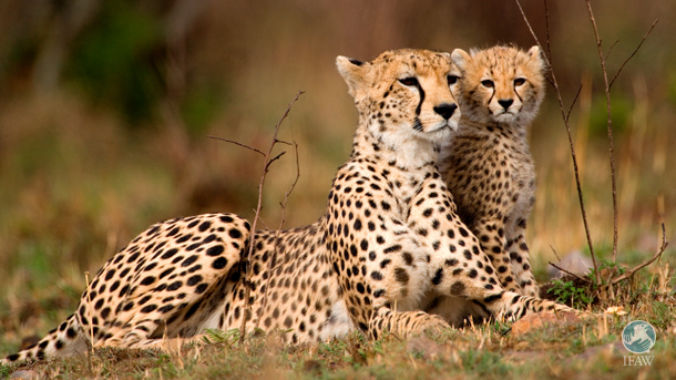 The IFAW Middle East office has worked to educate school students on the drawbacks of keeping wild animals as pets, especially cheetahs.